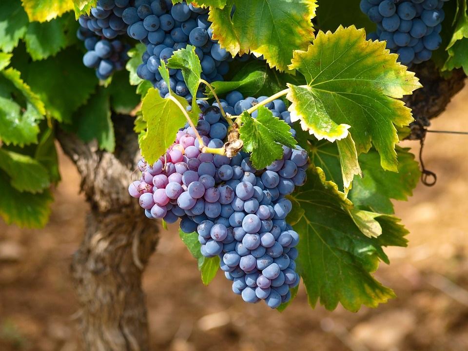 winogrono_dla_zdrowia_i_urody